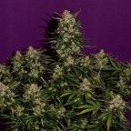 Growing The Fastest Jack Herer Haze Marijuana Strain