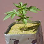 Growing Marijuana Seeds Versus Growing Marijuana Clones